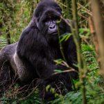 mgahinga-gorilla