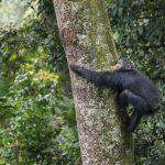 nyungwe-chimp